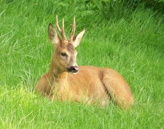 Chevreuil au repos couché dans l'herbe