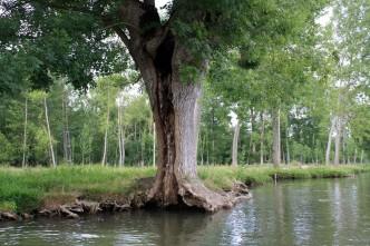 Frêne têtard âgé dans le Marais Poitevin