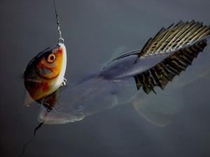 sandre pêché au poisson nageur