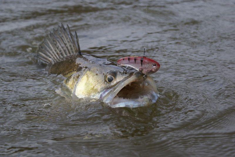 Le sandre le dracula du marais le blog du marais poitevin - Peche du poisson chat au coup ...