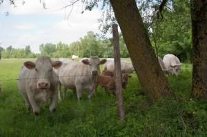 Vaches Charolaises dans un champs du Marais Poitevin proche d'Aziré
