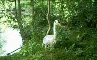 Vidéo courte d'un héron cendré dans le Marais Poitevin
