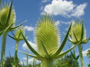 Quatre plantes cardères adultes