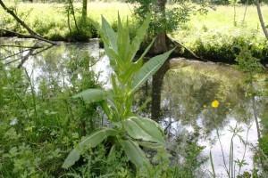 Plante cardère au bord de l'eau dans le Marais Poitevin