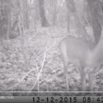Piège Vidéo – Chevreuils du marais