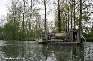 Transport des vaches par bateau dans le Marais Poitevin