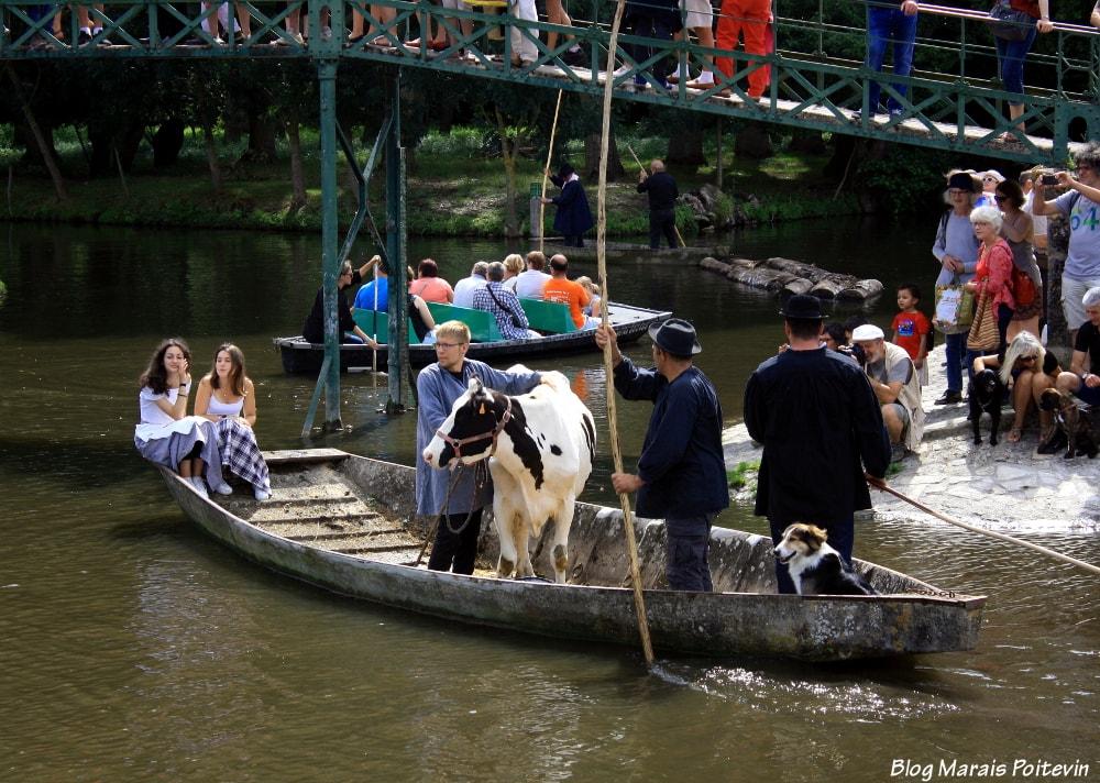 vaches dans barque marais poitevin