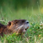 Le ragondin – Le rongeur nuisible