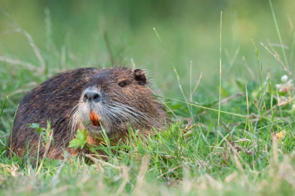 Ragondin couché dans l'herbe dans le Marais Poitevin
