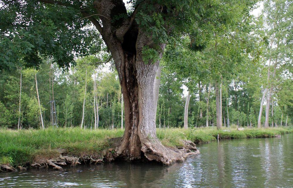 Le Frêne têtard – L'emblème menacé