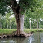 Le Frêne têtard – L'emblème menacée