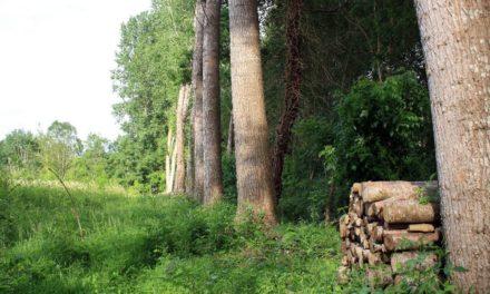 Le Peuplier – Le géant au pied d'argile