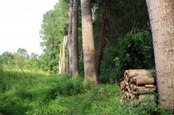 Alignement de peupliers blanc dans le Marais Poitevin