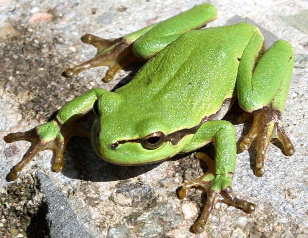 Rainette verte sur écorce