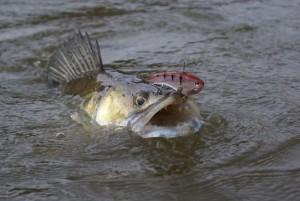 Sandre pêché au poisson nageur 2