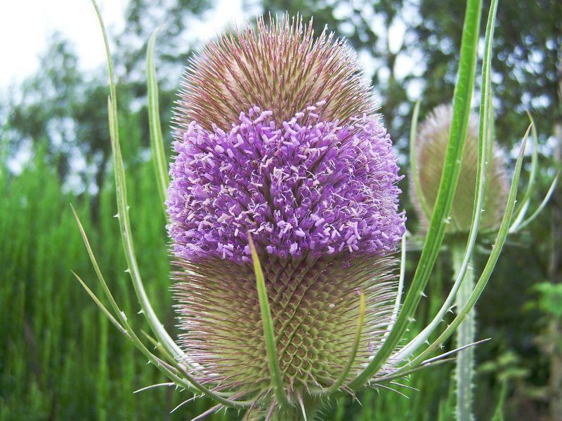 Plante cardère en fleur