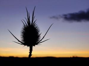 Plante cardère au coucher du soleil