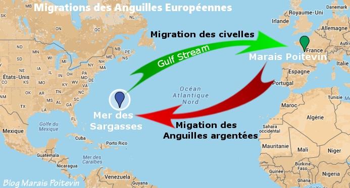 carte migratoire de l'anguille d'europe