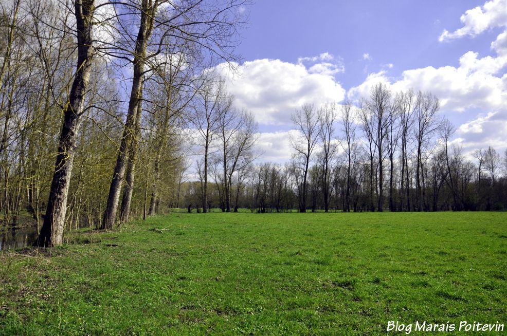 Paturage dans le marais poitevin à Saint-Hilaire-la-Palud