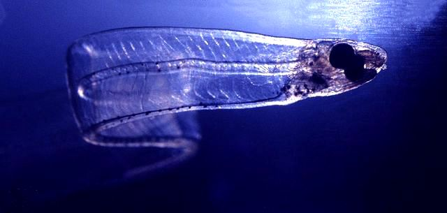 larve leptocephale d'anguilles d'europe