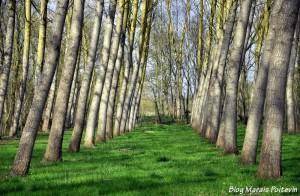 Peupleraie dans le Marais Poitevin à St Hilaire la Palud