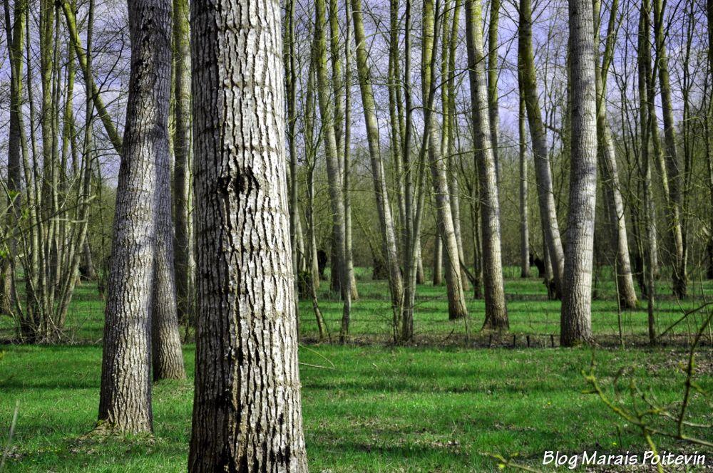 Peupleraie du Marais Poitevin à Saint-Hilaire-la-Palud
