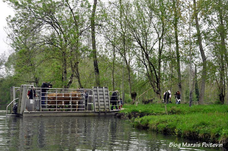 Transhumance des vaches maraichines dans le Marais Poitevin