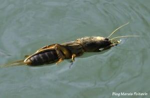 Courtilière qui nage dans le Marais Poitevin