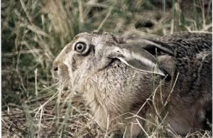 légende de la chasse au bitard dans le marais poitevin