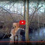 Piège vidéo La Garette -Janvier 2017