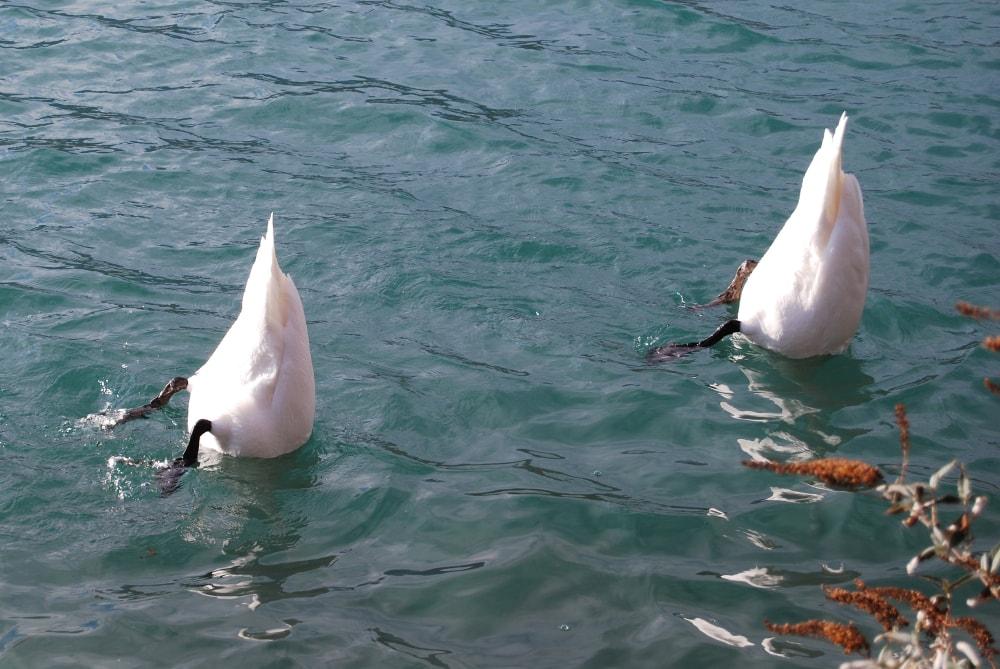 cygnes tete dans l'eau