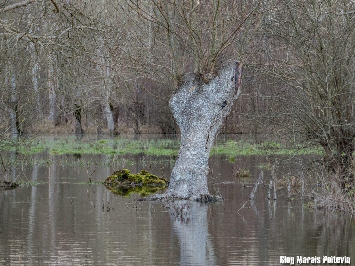 frene tetard et inondation marais poitevin