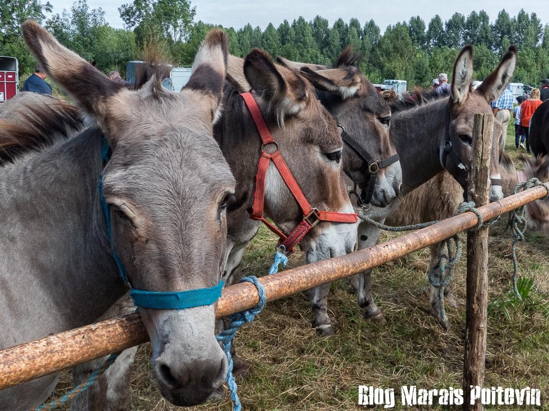 Fête du cheval sainte christine marais poitevin 3
