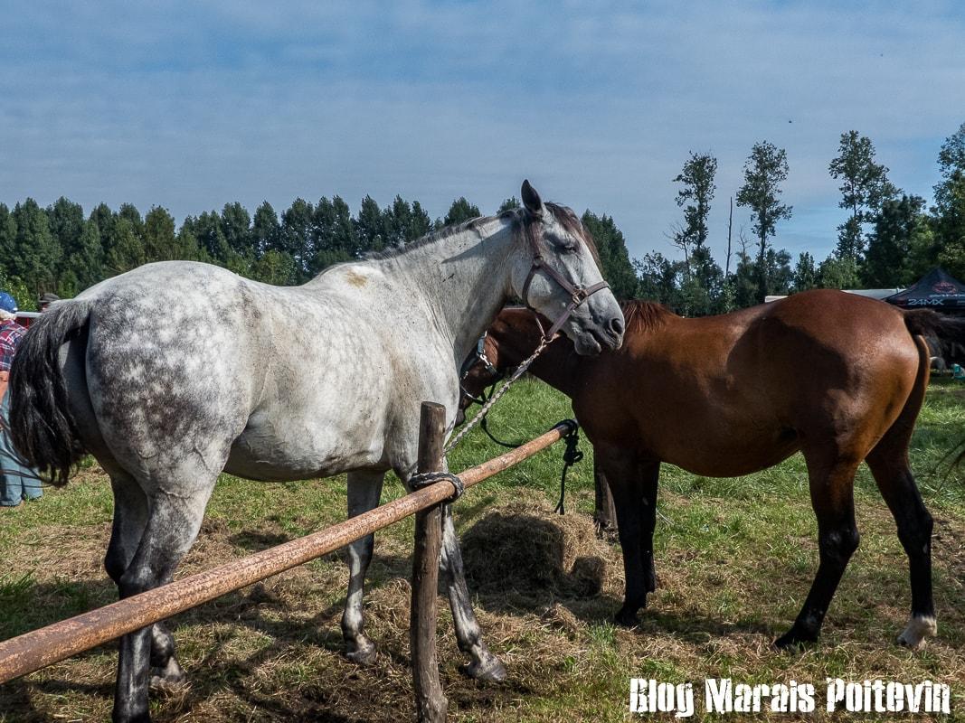 Fête du cheval sainte christine marais poitevin 4