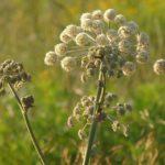 L'Angélique – L'herbe aux anges