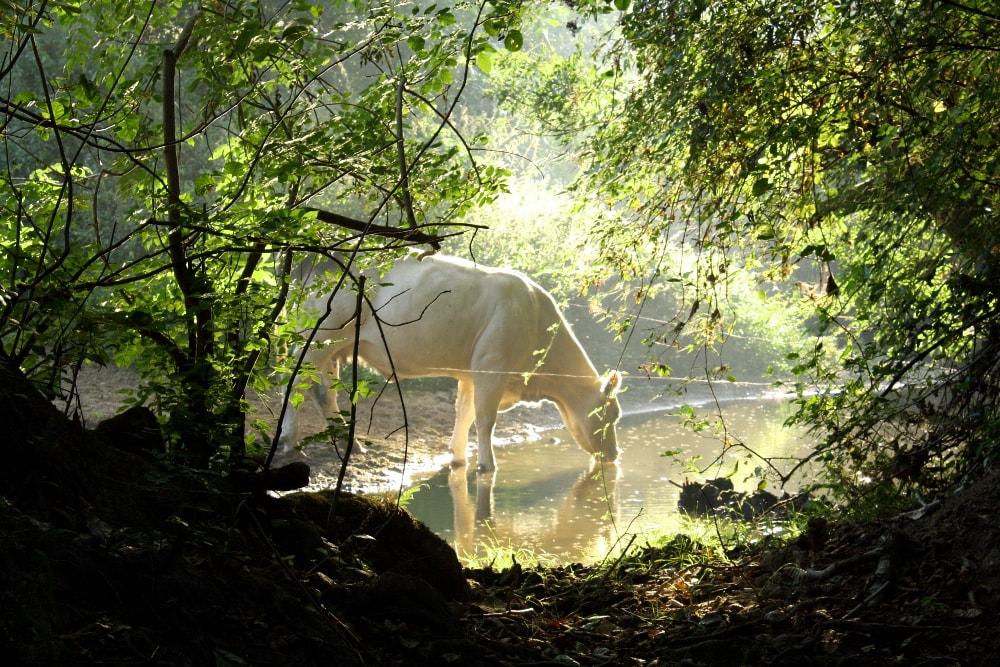 Vache sur la rivière Vendée