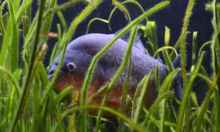 450 piranhas relâchés par erreur dans le Marais Poitevin