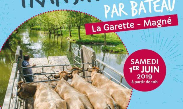 Transhumance des vaches par bateau à la Garette